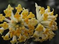 Edgeworthia- loves sun and blooms in late winter.  Foliage is dark green large leaves.  The bark is a beautiful cinnamon color.