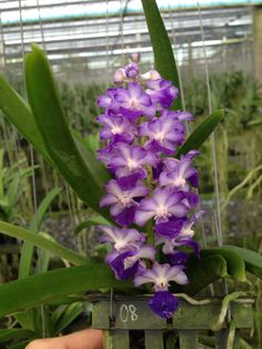 Rhyn. Coelestis from my orchid farm