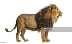 Side view of a Lion standing, Panthera Leo, 10 years old, isolated on white Elephant Sculpture, Lion Sculpture, Lion Side View, Lion Sketch, Lions Photos, Lion Drawing, Cat Reference, Tribe Of Judah, Brooklyn