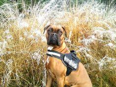 Deutscher Boxer Gypsy Na, das ist doch mal ein sympathischer Bodyguard! Hundename: Gypsy / Rasse: Deutscher Boxer      Mehr Fotos: https://magazin.dogs-2-love.com/foto/deutscher-boxer-gypsy/ Foto, Gassi gehen, Hund, Kleidung