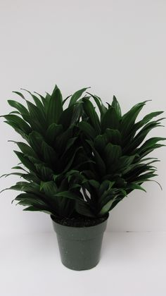 Janet Craig Compacta Dracaena is a good low light interiorscape plant.  Holds up very well.