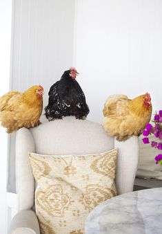 They got in big trouble for sneaking upstairs and roosting on the 'good' armchair. ©Kara Rosenlund