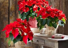 Step up your Christmas decor with brilliantly colored poinsettias. These traditional decorating favorites are a stylish way to brighten up your space. All About Plants, Poinsettia, Outdoor Living, Sweet Home, Diy Projects, Christmas, Decor, Christmas Traditions, Sustainable Farming