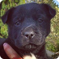 Kirkland, WA - Border Collie/Labrador Retriever Mix. Meet Border Collie X Puppies-Female, a puppy for adoption. http://www.adoptapet.com/pet/18442090-kirkland-washington-border-collie-mix