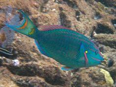 virgin islands fish images | Parrot-fish.jpg