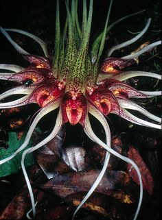 Orquídea Bulbophyllum binnendijkii - My site Weird Plants, Unusual Plants, Rare Plants, Exotic Plants, Strange Flowers, Unusual Flowers, Rare Flowers, Amazing Flowers, Orchid Plants