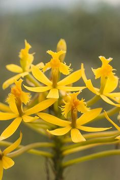 Epidendrum sp.  You have a beautiful collection, Susan Robbins Mauriello