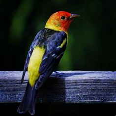 Western Tanager,  Port Orchard WA