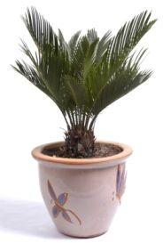 A guide to growing indoor palm plants. Sago palm, cycas revoluta, sago palm tree.