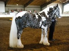 """Wow! His name is Austin. He's a gypsy vanner stallion and his coloring is called Chocolate Silver Dapple. What's really cool is that in the summer he's a chocolate color and his dapples are hard to see....or is it the other way around? I can never remember. Here's a video of him in his """"chocolate"""" coat (btw, I've seen some people try to claim that he's a mare named Abby, but mares don't have those.....parts. ;)"""