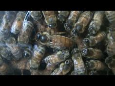 Honey bee queen laying eggs - YouTube