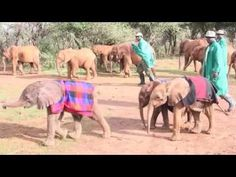 Watch the rescue of ivory poaching victim Barsilinga. Now in the care of the DSWT.