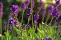 Tanja Riedel - Lavendel Duft im Sonnenuntergang