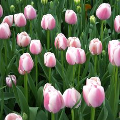 Ollioules Darwin Hybrid Tulip