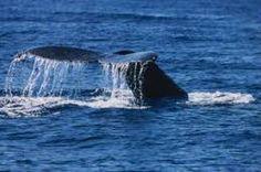 Maui Whale Watch Cruise from Lahaina Harbor Hawaii Ocean, Maui Hawaii, Family Friendly Cruises, Maui Tours, Whale Watching Cruise, Ocean Projects, Maui Activities, Lahaina Maui, Maui Travel