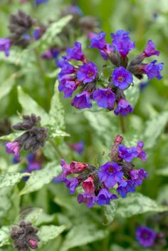 Buy lungwort Pulmonaria 'Diana Clare': Delivery by Crocus.co.uk