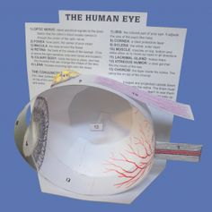 Cut-and-assemble Paper Model of the Human Eye