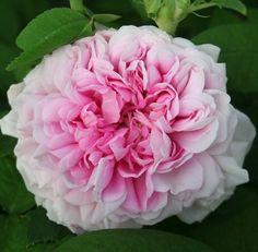 "~"" Enfant de France "" - Alba perpetual rose - Light pink, white edges - Mild fragrance - Lartay (France), 1860"