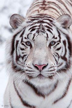 Bengal Tiger by Olga Gladysheva Bengalischer Tiger, Tiger Cubs, Bear Cubs, Snow Tiger, Beautiful Cats, Animals Beautiful, Big Cats, Cats And Kittens, White Bengal Tiger