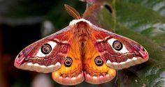 Emperor moth, Saturnia pavoniella