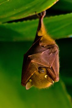 libutron:  batsjustbats:  peeking  A Fruit Bat hanging out in The Gambia.