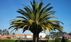 Ces palmiers d'extérieur visent à créer une atmosphère exotique sur une terrasse ou dans un jardin