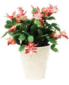 Growing Christmas cactus, care tips, picture - Schlumbergera bridgesii - how to misc Christmas Cactus Plant, Easter Cactus, Cactus Flower, Flower Pots, Cacti And Succulents, Cactus Plants, Pot Plants, Ikebana, Flower Pot Design