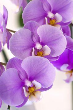 Orchid: Cymbidium Finger of Suspicion 'Squogre' - by HIRO.M.