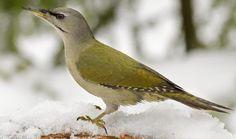 Harmaapäätikka, naaras. Kuva: Jyrki Mäkelä Woodpeckers, Colorful Birds, Bird Houses, Opi, Natural Beauty, Nature, Animals, Colourful Birds, Animales