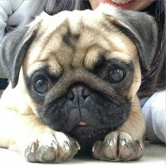 Reposted from @hugo_the_pugo DoubleTap & Tag a Friend below by pugsproud