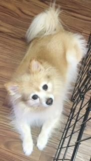 Sandy Dog • Pomeranian • Adult • Female • Small Best Friend Dog and Animal Adoption, Inc. Cranford, NJ