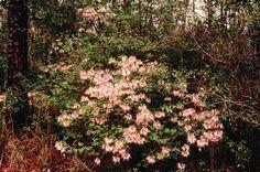 Native Azaleas - Rhododendron canescens