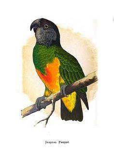 015-Parrots in captivity-1884- William Thomas Greene