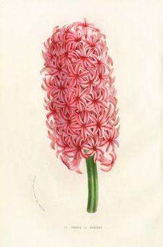 Louis van Houtte Flore des Serres Single-sized Prints 1858