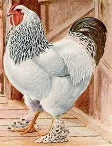 Chicken Breeds With - Yahoo Image Search Results