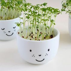 Cress is a lovely herb that tastes great on a sandwich with cheese or cream cheese. It's also a herb that is really easy to grow at home. Within days you can harvest from your own little window gar...