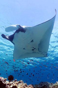 Diving Swimming Mermaids Old Diver Tattoo Code: 7067293637 Underwater Pictures, Underwater Fish, Best Scuba Diving, Photo D Art, Ocean Creatures, Underwater Photography, Ocean Life, Marine Life, World