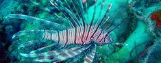Lionfish (also known as turkeyfish)