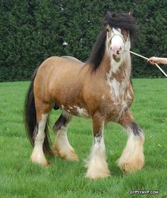Gypsy Vanner Horses are one of the most beautiful horse breeds in the world. At gypsy MVP you will find only the finest quality stallions of this breed. Cute Baby Animals, Animals And Pets, Funny Animals, Big Horses, Horses For Sale, Most Beautiful Horses, All The Pretty Horses, Horse Pictures, Animal Pictures