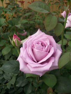 Snowfire Hybrid Tea Rose 3 gal Red White Bush Plants Shrub Plant Fine Roses