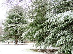 Winter evergreens in Hollis, NH - Janice Drew