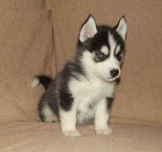 Adorable little Siberian Husky puppy!