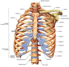 Anatomy of the thoracic cage, the rib cage. Human Skeleton Anatomy, Dr Bones, What Is Science, Anatomy Bones, Science Quotes, Medical Anatomy, Forensic Anthropology, Human Anatomy And Physiology, Nursing Tips