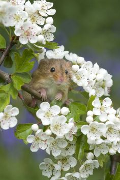 Harvest mouse (Micromys minutes) in Hawthorn blossom. Cute Creatures, Beautiful Creatures, Animals Beautiful, Nature Animals, Animals And Pets, Cute Baby Animals, Funny Animals, Harvest Mouse, Hamsters