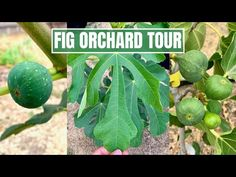 (1413) FIG ORCHARD TOUR   GREEN SHOOTS NURSERY - YouTube Growing Fig Trees, Fig Varieties, Nursery, Tours, Green, Youtube, Plants, Instagram, Baby Room