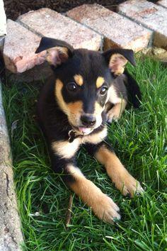 Kelpie puppy