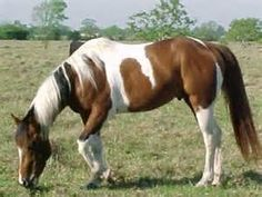 paint horse - - Yahoo Image Search Results