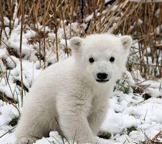 Baby polar bear awwww <3