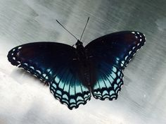 This butterfly landed on my grill & stayed around for a full photo session!