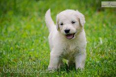Meet Alfie a cute Goldendoodle puppy.